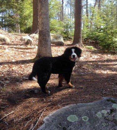 Vert-Monts Bernese Mountain Dogs -::- Bernese Mountain Dog Breeder
